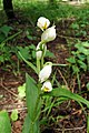 Cephalanthera damasonium, Եղբորոսին, Пыльцеголовник крупноцветковый - panoramio.jpg