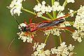 Cerambycid Beetle - Necydalis diversicollis californicus, near Bassetts, Sierra County, California.jpg