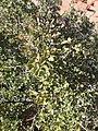 Cercocarpus montanus kz04.jpg