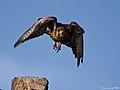 Cernicalo vulgar (falco tinnunculus canariensis)(♂) (4589870024).jpg
