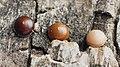 Cerura vinula (ovi) - Puss moth (eggs) - Большая гарпия (яйца) (47996469773).jpg