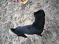 Chó đen (chó mực) ở Cát Sơn (2).jpg