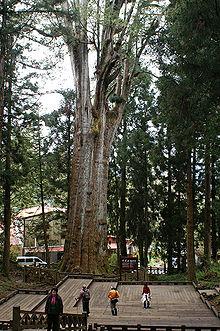 紅檜(圖為阿里山香林神木)
