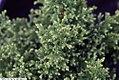 Chamaecyparis pisifera Plumosa Compressa Aurea 1zz.jpg