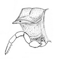 Chamberlinius sublaevus lateral view.png