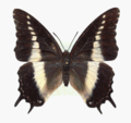 Charaxes antiquus femelle..png