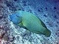 Cheilinus undulatus Maldives.JPG