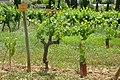 Chenin - vines.jpg