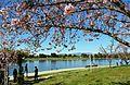 Cherry blossoms Lake Balboa (20140330-0344).JPG