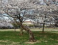 Cherry blossoms on the Washington Monument grounds (861583fa-fd66-4482-ab03-4ce255f34dcc).jpg