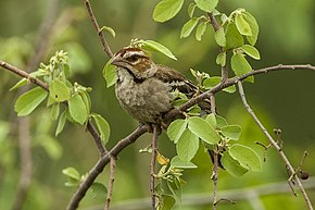 Description de l'image Chestnut-crowned Sparrow-Weaver - Murchison Falls NP - Uganda 06 5164 (22662525490).jpg.