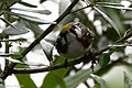 Chestnut-sided Warbler (male) Fall Out 2 Sabine Woods TX 2018-04-09 09-33-25 (41507930441).jpg