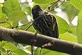 Chestnut-sided Warbler (male) Sabine Woods TX 2018-04-22 14-08-57 (41092255805).jpg