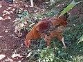 Chicken pecks.jpg