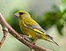 European Greenfinch - Photo (c) Martin Kunz, some rights reserved (CC BY)