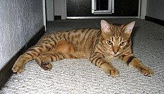 Chocolate-Spotted-Ocicat.jpg