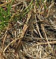 Chorthippus brunneus - Flickr - S. Rae (3).jpg