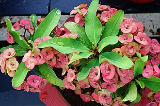 Euphorbia milii - Christ thorn (large)