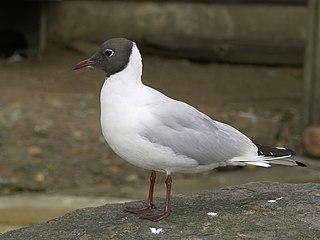 Black-headed gull Species of bird