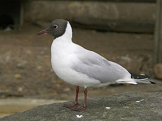 Watership Down - Kehaar is a black-headed gull (Chroicocephalus ridibundus; pictured with summer plumage)
