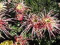 ChrysanthemumMorifolium9.jpg