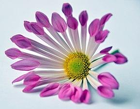 Chrysanthemum (3668770250).jpg