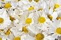 Chrysanthemum Gwendolyn 2zz.jpg