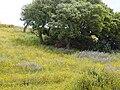 Chrysanthemum coronarium 2 (Corse).JPG
