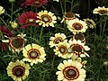 Chrysanthemum from Lalbagh flower show Aug 2013 8329.JPG