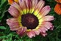 Chrysanthemum from lalbagh7243.JPG