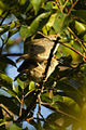 Chubb's Cisticola - Kakamega Kenya 06 2740 (17320725795).jpg