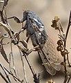 Cicada - Flickr - gailhampshire (2).jpg