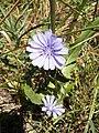 Cichorium pumilum 1.jpg