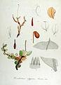 Cinclidium stygium — Flora Batava — Volume v14.jpg