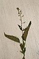 Circaea lutetiana (35690166394).jpg