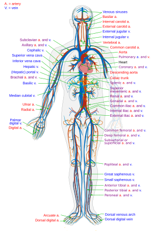 Simplified diagram of the human Circulatory sy...
