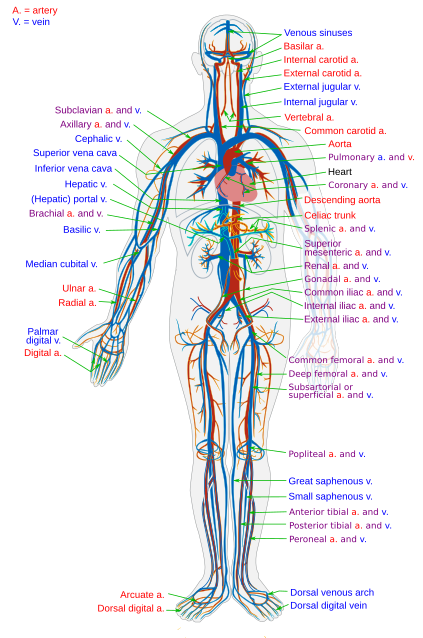 File:Circulatory System en.svg