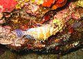 Cirrhitichthys falco.jpg