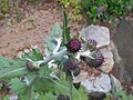Cirsium waldsteinii 2016-05-09 0011.jpg