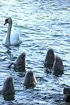 Apprentissage de la pêche des jeunes cygnes.