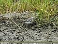 Citrine Wagtail (Motacilla citreola) (15700993190).jpg