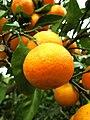 Citrus unshiu (324791424).jpg