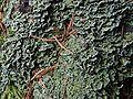 Cladonia digitata G34 (1).JPG