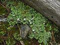 Cladonia macrophyllodes - Flickr - pellaea.jpg