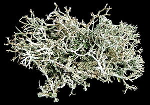 Cladonia rangiferina - Top view of C. rangiferina