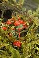 Cladonia sp. (39193594971).jpg