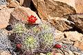 Claret-cup cactus (Echinocereus mojavensis); 3-13-2015 (16630934257).jpg