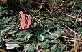 Clavaria rosea - Goździeniec różowy-3.jpg