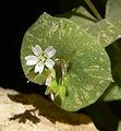 Claytonia perfoliata ssp intermontana 9.jpg