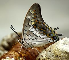 Close wing position of Charaxes solon, Fabricius, 1793 – Black Rajah WLB.jpg